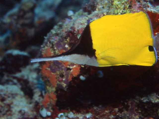 Big long nose butterfly fish