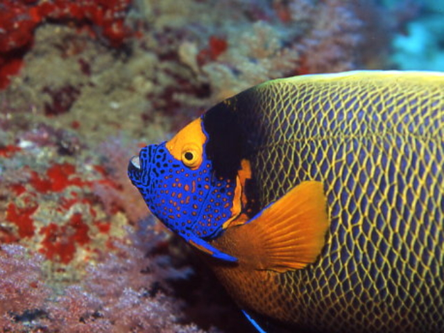 Blue faced Angelfish